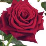 Саженцы чайно-гибридной розы Ред Айс
