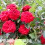 Роза Руби Стар (Спрей)
