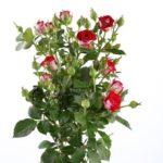 Саженцы чайно-гибридной розы Руби Стар (спрей)