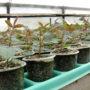 Саженцы чайно-гибридных роз.