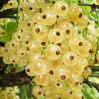Купить саженцы смородины белой Снежана, Вы можете в садовом центре «У Дяди Юры» в Киеве.