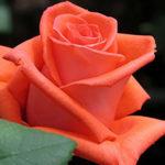 Саженцы чайно-гибридной розы Ред Вау