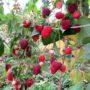 Ягоды малины 7 октября