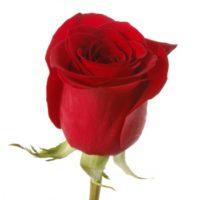 Саженцы розы Фридом.