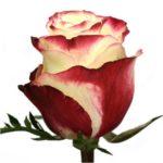 Саженцы чайно-гибридной розы Свитнес