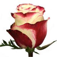 Саженцы розы Свитнес