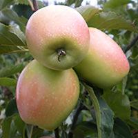 Саженцы яблони Сары Синап