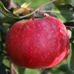 Саженцы яблони Байя Мариса.