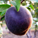 Саженцы Чёрного абрикоса.