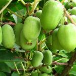 Саженцы актинидии Крупноплодная