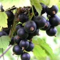 Саженцы смородины чёрной Тисель