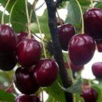 Саженцы вишни Тургеневка