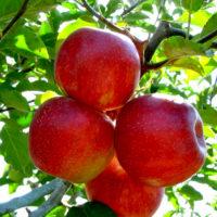 Саженцы яблони Декоста.