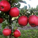 Саженцы яблони Чемпион Рено