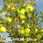Саженцы яблони Прайм Голд
