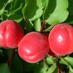 Саженцы абрикоса Биг Ред