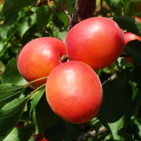 Саженцы абрикоса Приция.