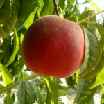 Саженцы персика Роял Саммер