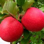Саженцы яблони Пинк Леди