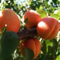 Саженцы абрикоса Фардао