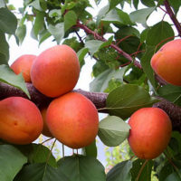 Саженцы абрикоса Фарбели