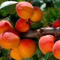 Саженцы абрикоса Фарели