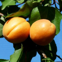 Саженцы абрикоса Фаркло
