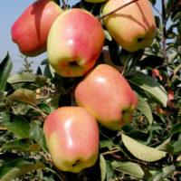 Саженцы яблони Голд Чиф